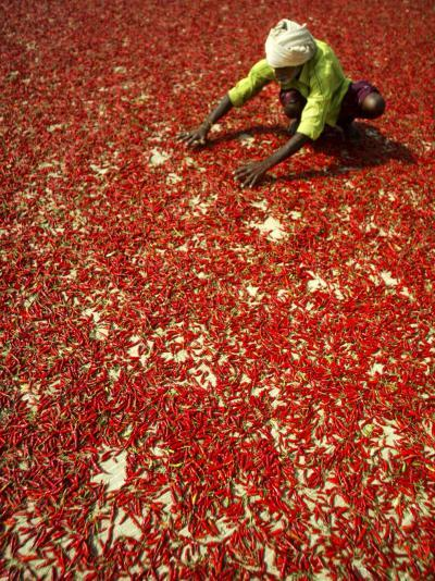 Villager Dries Red Chilies at Rambha, India--Photographic Print