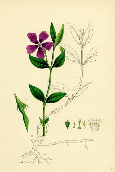 Vinca Minor Lesser Periwinkle--Giclee Print