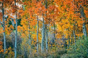 Autumn Aspen Design, Bishop Creek Canyon, Eastern Sierras by Vincent James