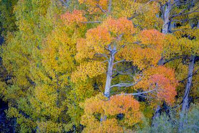 Autumn Color, Eastern Sierras, Aspens, California by Vincent James
