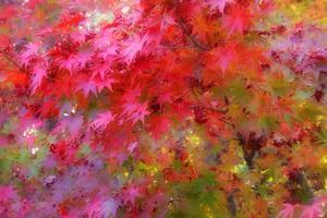 Autumn Japanese Maple Impressions by Vincent James