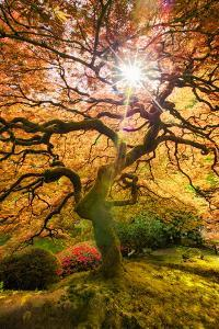 Autumn Maple and Sun, Japanese Garden Portland Oregon by Vincent James