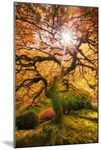 Autumn Maple and Sun, Japanese Garden Portland Oregon by Vincent James
