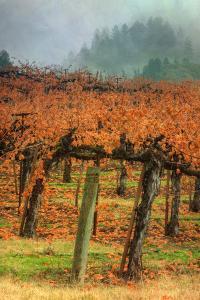 Autumn Misty Morning Vineyard, Napa by Vincent James
