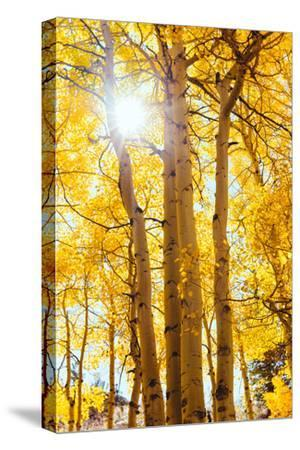 Autumn Sun and Trees, Bishop Creek Canyon California
