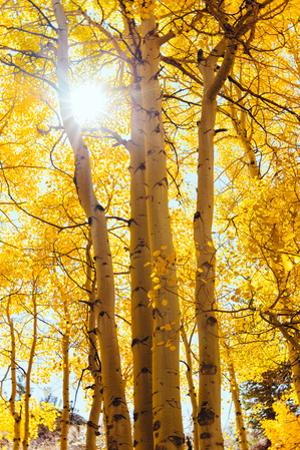 Autumn Sun and Trees, Bishop Creek Canyon California by Vincent James