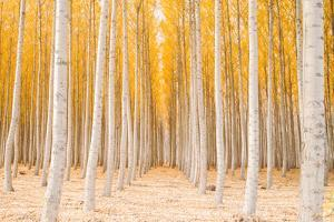Autumn Tree World, Light Sun and Trees, Eastern Oregon by Vincent James