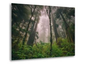 Back to the Trees, California Coastal Redwoods by Vincent James