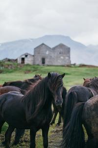 Beautiful Icelandic Horses, Southern Countryside Iceland by Vincent James