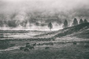 Bison Mist Landscape, Hayden Valley Yellowstone by Vincent James
