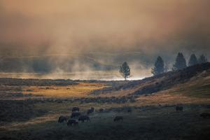 Bison Mist Landscape, Yellowstone National Park, Wyoming by Vincent James