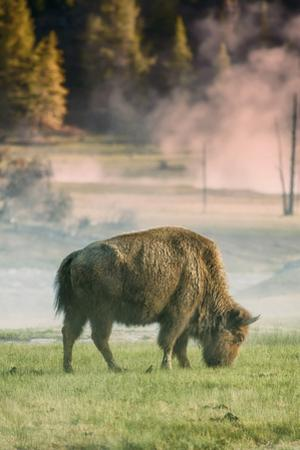 Bison Portrait by Vincent James