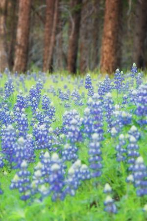 Blue Bonnets at Wawona, Yosemite National Park by Vincent James