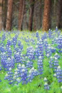 Blue Bonnets at Wawona, Yosemite National Park by Vincent James