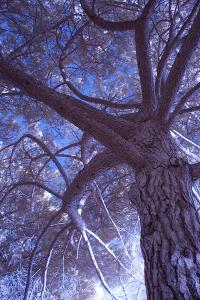 Celebration Tree, Infrared, Oakland, California by Vincent James