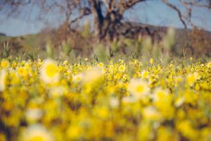 Central Valley Wildflowers in Spring Design, California Paso Robles by Vincent James