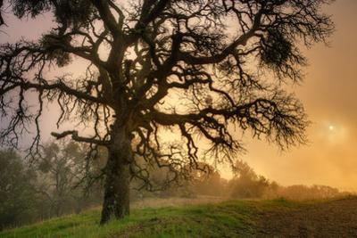 Classic Coast Live Oak Foggy Sun Mystical Mystery at Mount Diablo by Vincent James