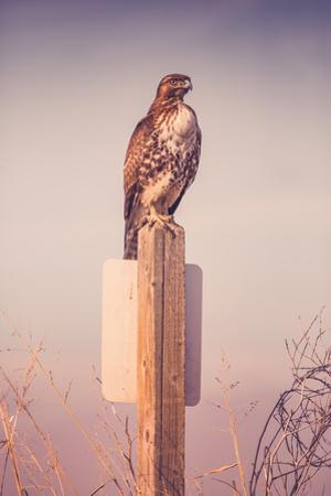 Classic Red Tail Hawk Merced Wildlife Refuge Birds California by Vincent James