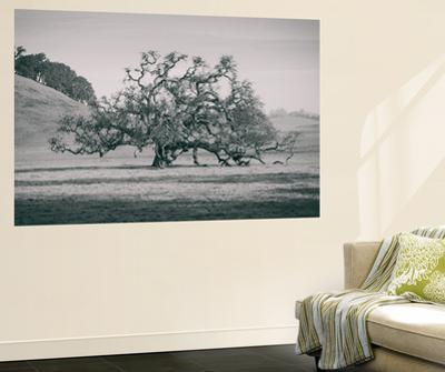 Coast Live Oak Elegance in Black and White, Northern California by Vincent James