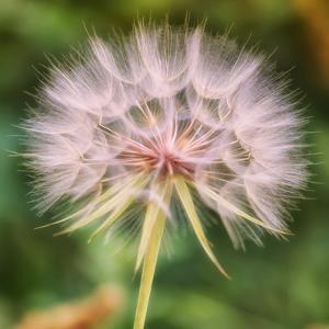 Delicate Dandelion by Vincent James