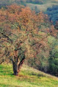 Diablo Winter Oak by Vincent James