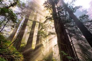 Divine Forest Light California Redwoods, Coastal Trees by Vincent James