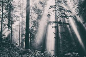Divine Light Beams and Redwoods, Northern California Coast by Vincent James