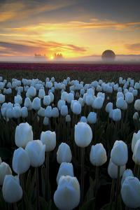 Dreamy Tulip Sunrise, Woodburn, Oregon by Vincent James