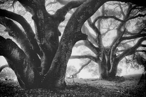 Dual Winter Oaks in Black and White, Mist Fog and Trees, Petaluma, Bay Area by Vincent James