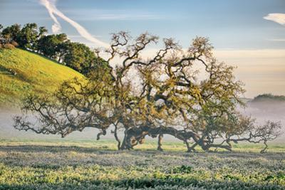 Elegant Oak and Mist, Petaluma Trees, Sonoma County, Bay Area by Vincent James