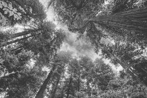 Enraptured by Trees, Redwood Coast California by Vincent James