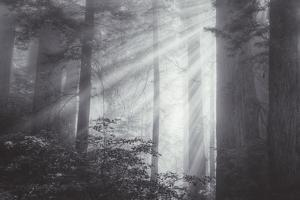 Ethereal Light and Coast Redwoods, California by Vincent James