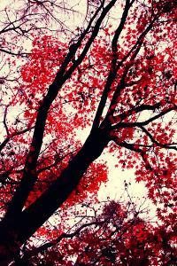 Fall Japanese Maples, Oakland by Vincent James