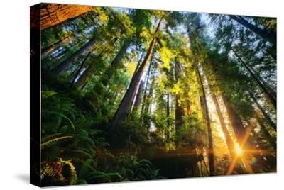 First Forest Light, Sun and Trees, Prairie Coast Redwoods, California Coast by Vincent James