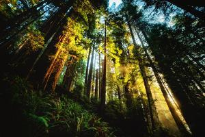 First Light Redwood Forest, Praire Creek Redwoods, California Coast by Vincent James