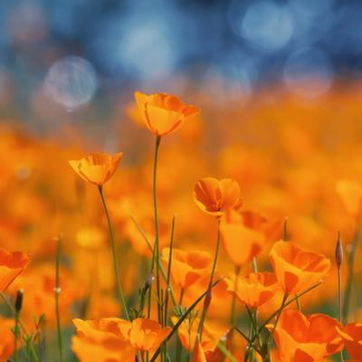Golden Riverside Poppies (Square), Merced River Canyon by Vincent James