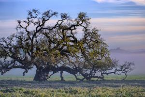 Heavenly Magical Oak and Mist Petaluma Northern California by Vincent James