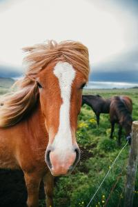 Horse Portrait, Icelandic Horses, High Country Iceland by Vincent James