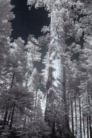 In the Grove - Infrared, Mariposa by Vincent James