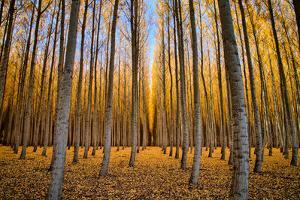 Into The Forest, Trees of Northern Oregon by Vincent James