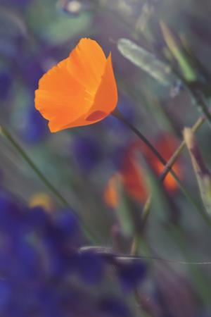 Isolated Poppy by Vincent James
