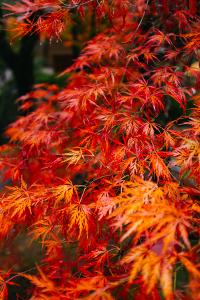 Japanese Maple Detail Fall Foliage Portland, Oregon by Vincent James