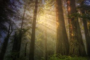 Light and the Land of the Trees, Northern California by Vincent James