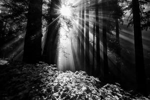 Light in the Darkness, Sun Beams and Redwood Coast Black and White by Vincent James