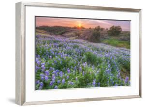 Lupine Sunset at Table Mountain, Northern California by Vincent James