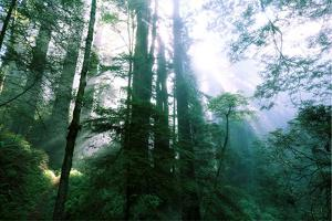 Magical Redwood Forest Light, Beautiful California Coast by Vincent James