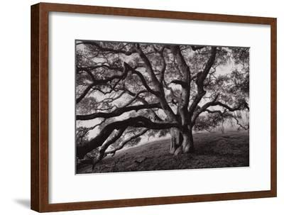 Majestic and Moody Oak, Sonoma Valley, Northern California by Vincent James