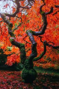 Majestic Japanese Maple, Portland, Oregon by Vincent James