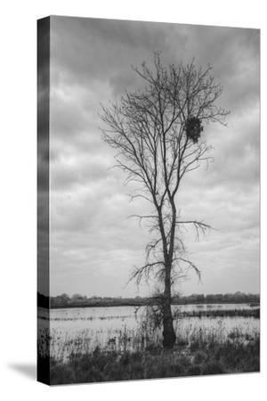 Marsh Tree, Central Valley California