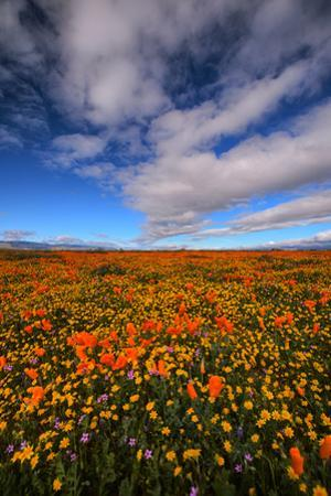 Mega Landscape Poppy Scene Design Wildflower Spring California by Vincent James